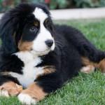 Cucciolo-taglia-grande