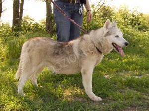 Siberian Husky, F, 9 anni, San Giuliano M.se
